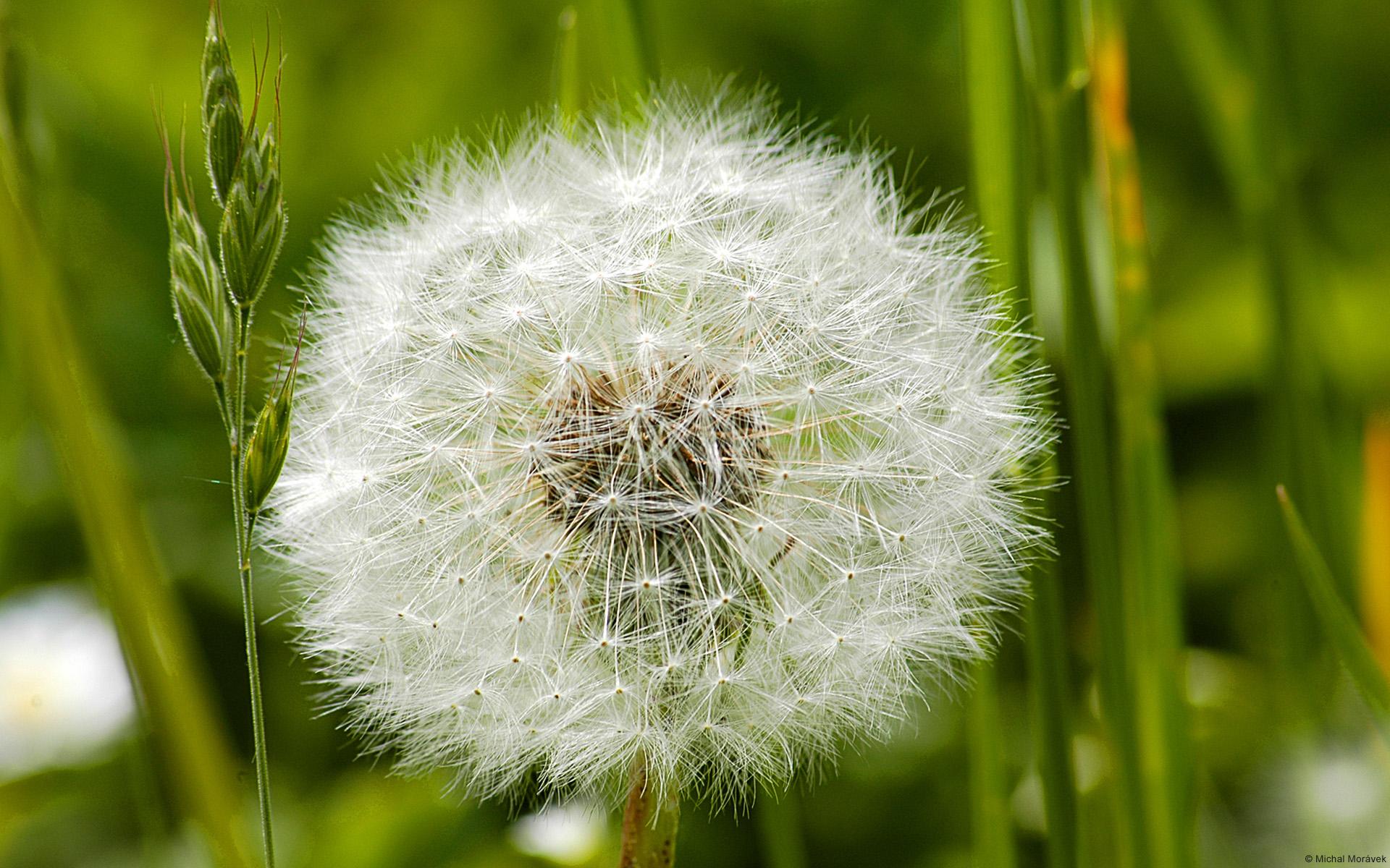 Dandelion Bunga Indah Nan Penuh Arti Simple But Meaningful